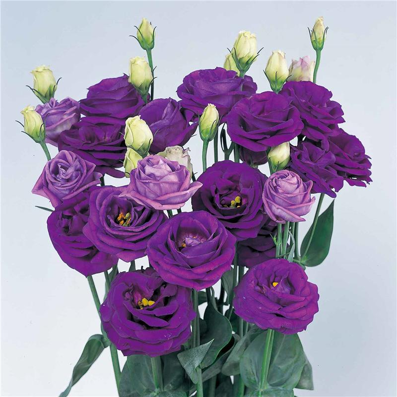 手绘古风莲花紫色